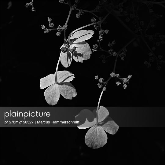 Hortensie in der Nacht - p1578m2150527 von Marcus Hammerschmitt