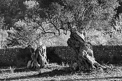 Olive trees - p1016m2193384 by Jochen Knobloch