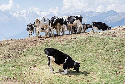 Kühe auf der Alm - p1357m1207510 von Amadeus Waldner