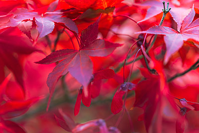 Close-up of red leaves on maple tree, New York, USA - p300m2144496 by Michael Malorny