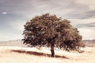 tree, desert, nature, - p694m811185 by John Haynes