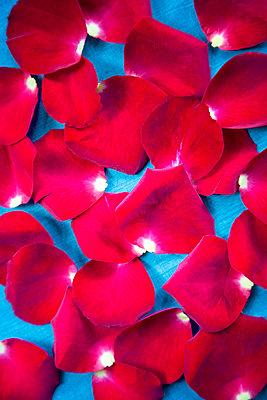 Rosenblätter - p1248m2216080 von miguel sobreira