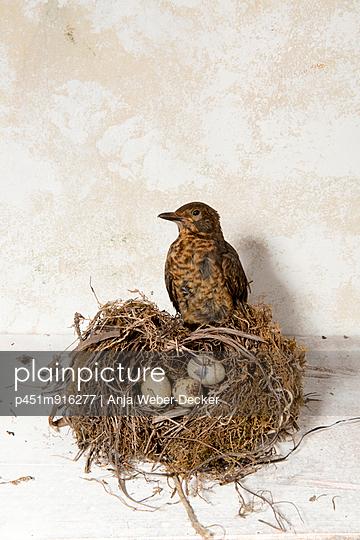 Vogelnest mit Eiern und Vogel - p451m916277 von Anja Weber-Decker