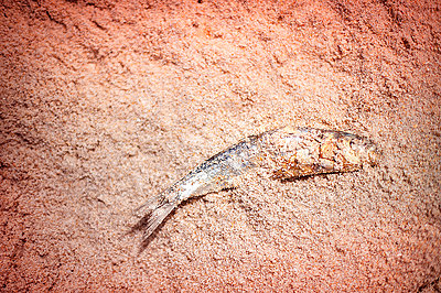 Dead fish in the sand - p1007m1144441 by Tilby Vattard