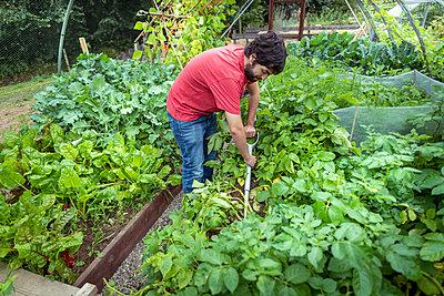 Gardener digging up new potatoes in summer time in organic vegetable garden - p429m2146224 by Monty Rakusen
