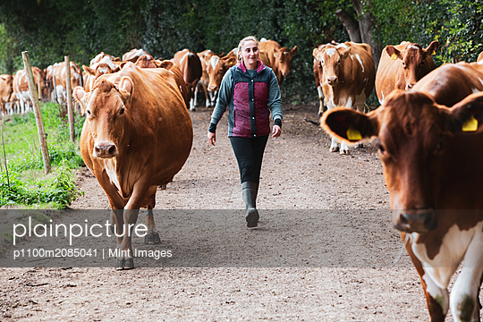 Young woman driving herd of Guernsey cows along a rural road.  - p1100m2085041 by Mint Images