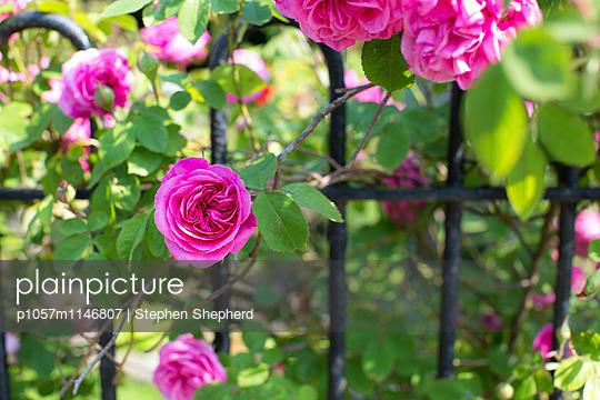 Englische Rosen - p1057m1146807 von Stephen Shepherd