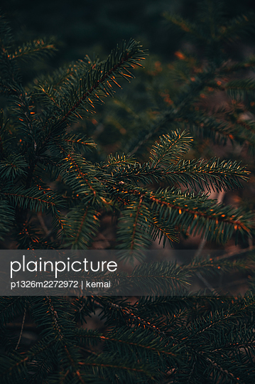 Fir-branches - p1326m2272972 by kemai