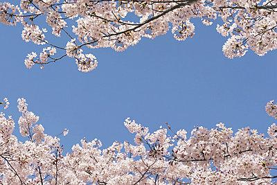 Cherry trees - p5144866f by IDC