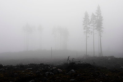 Trees in thick fog - p5756110f by Berggren, Hans