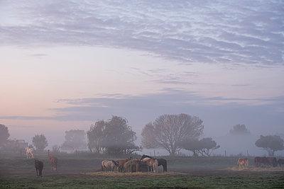 Horses in a pasture in the morning fog, Spandauer Rieselfelder - p739m2172865 by Baertels