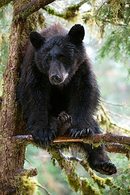 Black Bear juvenile in tree - p884m863706 by Matthias Breiter