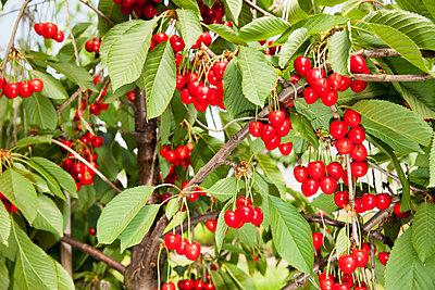 Kirschen am Baum - p902m1065130 von Mölleken