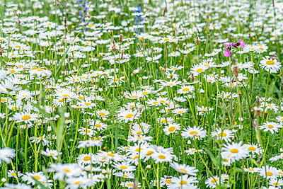 Wildflower meadow - p401m2281076 by Frank Baquet