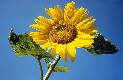 Sonnenblume mit Himmel - p2370107 von Thordis Rüggeberg