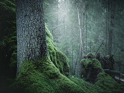 Moss on tree - p312m1229300 by Stefan Isaksson