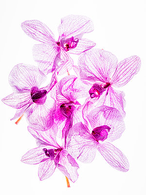 Orchid flowers - p401m2193023 by Frank Baquet