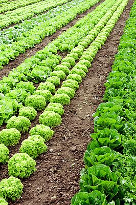 Salatanbau - p4510695 von Anja Weber-Decker