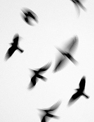 Crow - p816m745177 by Magnus Reneflot