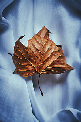 Brown leaf on blue fabric - p968m2020201 by roberto pastrovicchio
