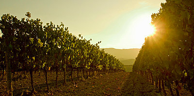 Close up of grapevines at sunset, Tuscany, Italy - p429m803047f by WALTER ZERLA