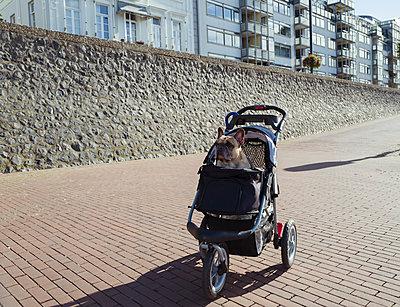 Französische Bulldogge sitzt im Hundewagen - p432m2022628 von mia takahara