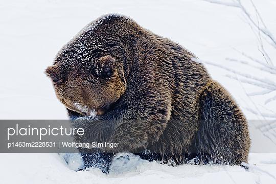 Braunbär (ursus arctos) im Schnee - p1463m2228531 von Wolfgang Simlinger