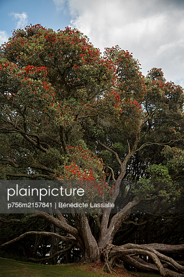 Knobby tree with red blossoms - p756m2157841 by Bénédicte Lassalle