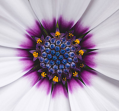 Close up of the center of an osteospermum african daisy. - p1166m2290168 by Cavan Images