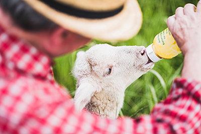 Shepherd feeding lamb with milk bottle - p300m1188413 by Uwe Umstätter