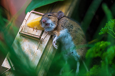 Common vole caught in mousetrap - p300m1449849 by Frank Röder