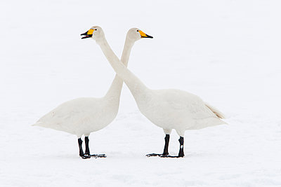 Whooper Swan pair courting, Lake Tysslingen, Sweden - p884m1136446 by Jan Smit/ NIS