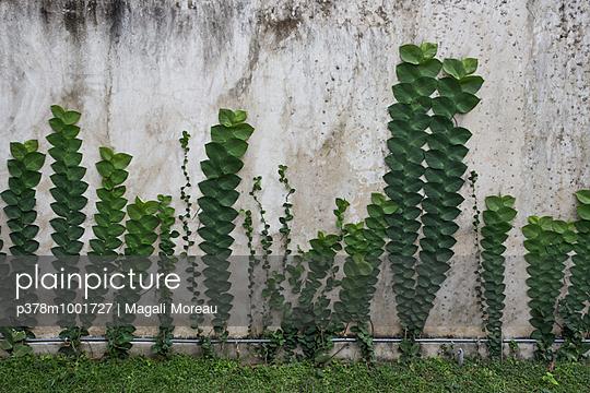 Climbing plants on wall - p378m1001727 by Magali Moreau