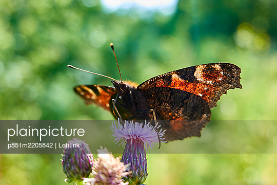 Butterfly on a blossom - p851m2205842 by Lohfink