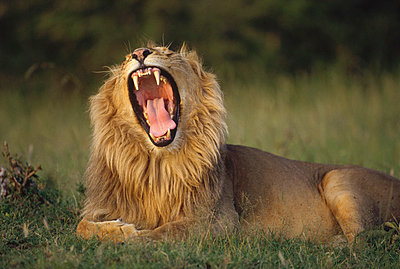 African Lion male roaring - p884m862276 by Shin Yoshino