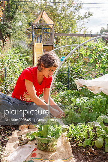 A woman picks leafy greens from her backyard vegetable garden in sun - p1166m2208451 by Cavan Images