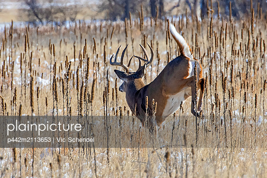 White-tailed deer (Odocoileus virginianus) buck jumping through a field with traces of snow; Denver, Colorado, United States of America - p442m2113653 by Vic Schendel