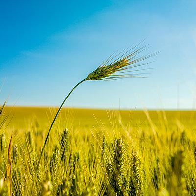Ears of barley. Auvergne. France. - p813m1462131 by B.Jaubert