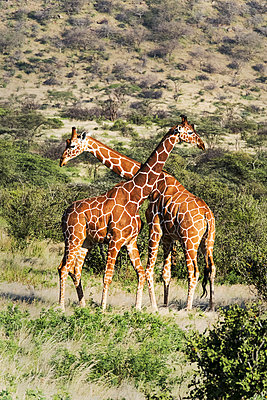 Two reticulated giraffes necking, Samburu National Reserve, Kenya, East Africa - p871m2057952 by Lynn Gail