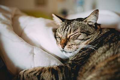 Close-up of tabby cat sleeping on bed at home - p1166m1203789 by Cavan Images