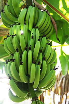 Green Organic Bananas Growing in Bunches on Tree in Tahiti - p1166m2136409 by Cavan Images