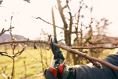 Farmer using pruning shears on bare tree at orchard during sunny day - p300m2276595 by Sebastian Dorn