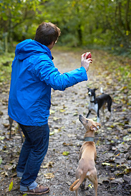 Young man throwing ball for whippets in woods - p429m895514f by Dark Horse