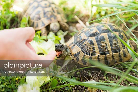 Schildkröte - p608m1589648 von Jens Nieth