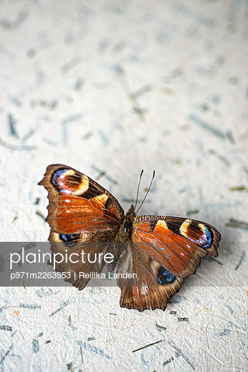 Peacock butterfly - p971m2263953 by Reilika Landen