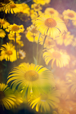 Yellow flowers - p1057m2292953 by Stephen Shepherd
