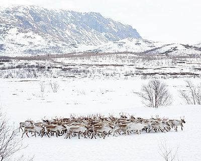 Rentierherde in Norwegen - p1124m1133130 von Willing-Holtz