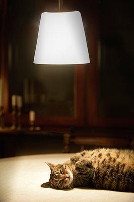 Cat resting under ceiling lamp - p1418m1571744 by Jan Håkan Dahlström