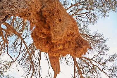 Bird nest, Namib Naukluft National Park, Africa - p429m1029804 by Stephen Lux
