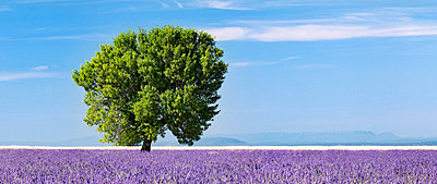 Tree in a lavender field, Valensole plateau, Provence, France - p6510981 by Nadia Isakova photography